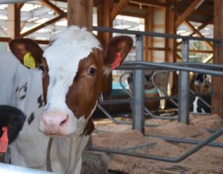 ホルスタイン牛