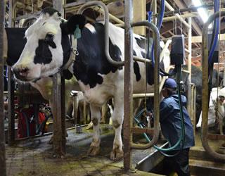 お昼の搾乳、畑仕事、牛舎内作業